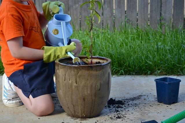 Caspar watering mint plant