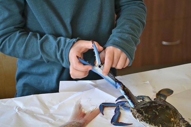 Caspar exploring blue swimmer crab
